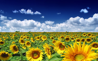 sunflowers-summer-time